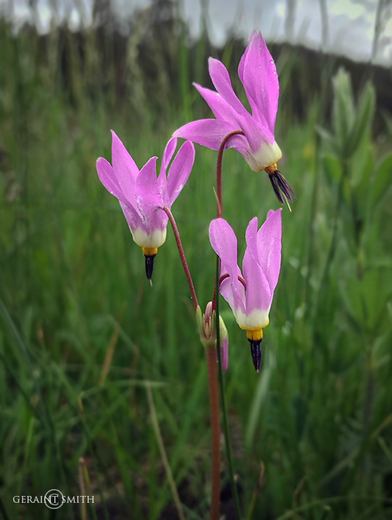 Shooting Stars, Wildflowers, Valle Vidal