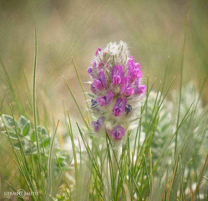 Showy Locoweed Flower