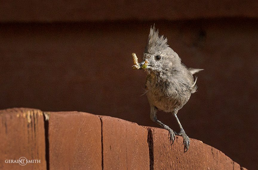 tufted_titmouse_san_cristobal_3265-2959852