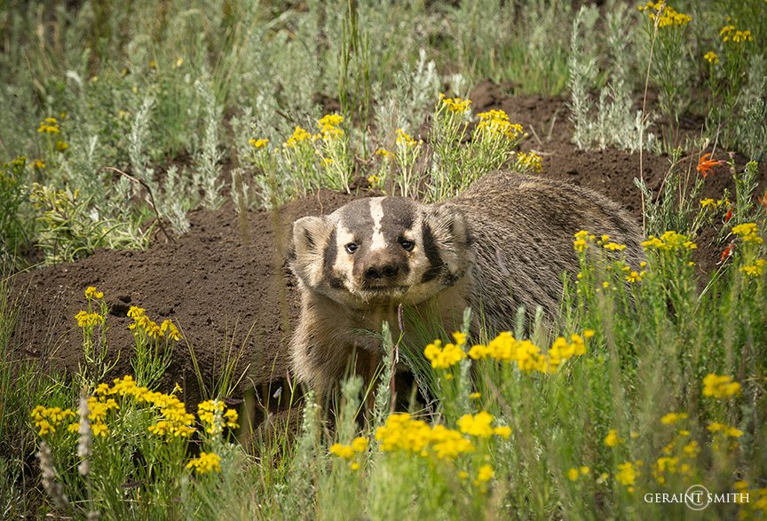 Badger, Northern New Mexico
