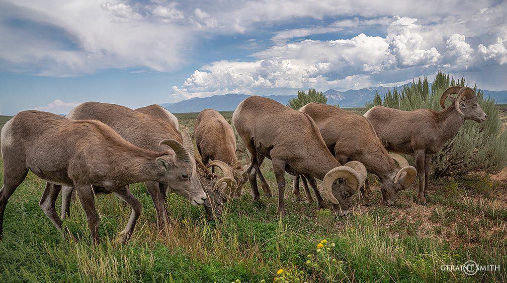 bighorn sheep rio grande gorge rim A7R 1845 6230332