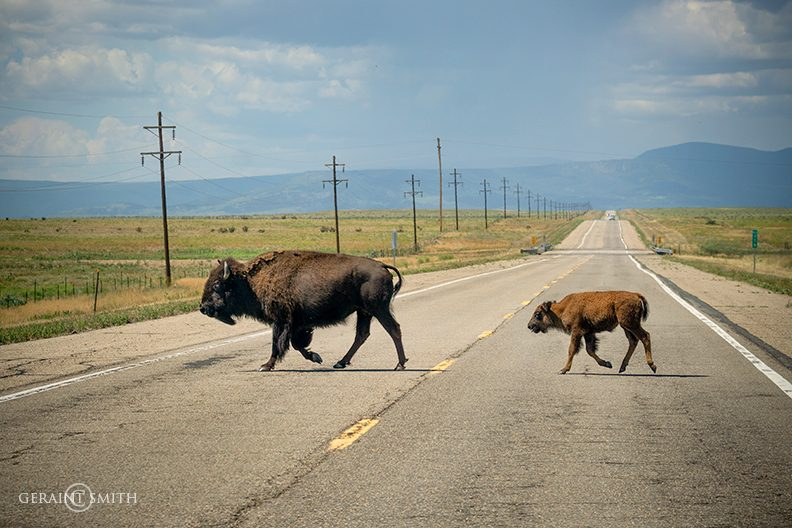 Bison Cow and Calf, Colfax, NM