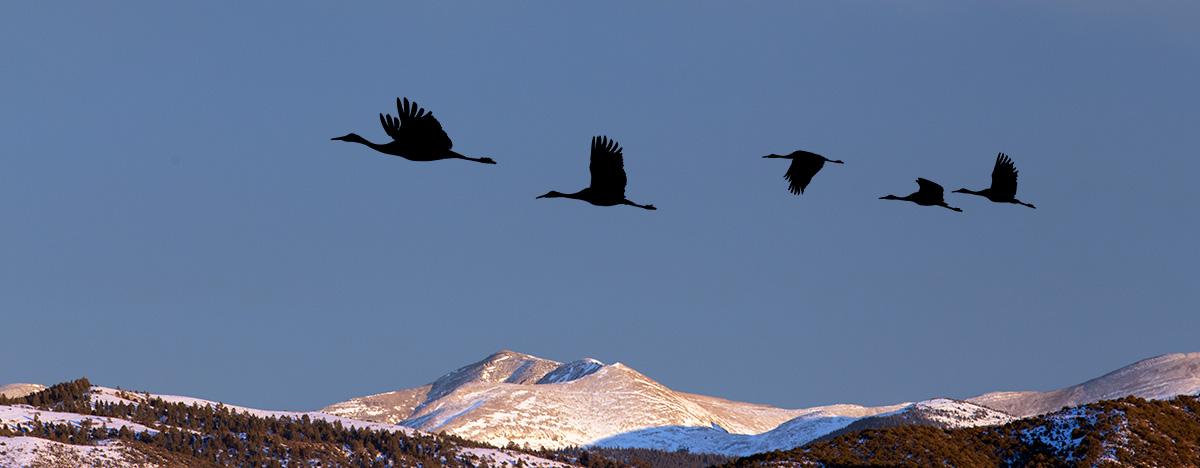 Sandhill Cranes, over the Sangre de Cristo Mountains