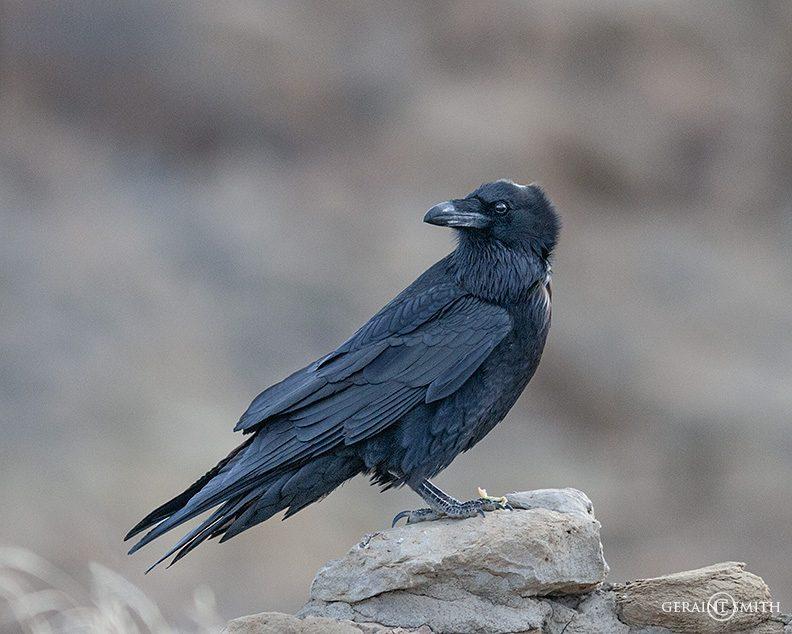 raven_chaco_canyon_8162-4188575