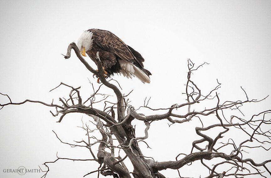 Bald Eagle, Rio Grande Gorge