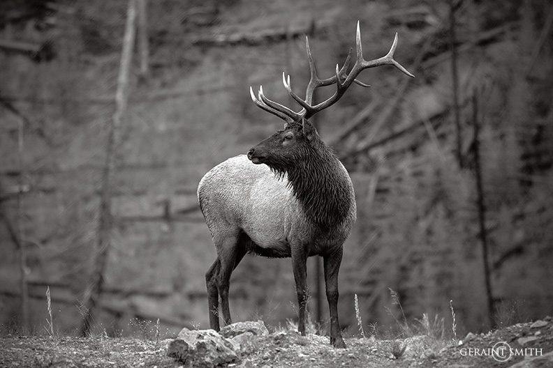 Yellowstone Elk, Flashback 2005
