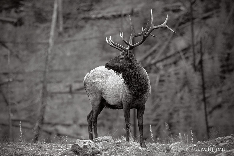 Yellowstone Elk, Flashback 2005