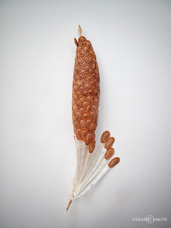 Milkweed Pod, Seeds and Floss.