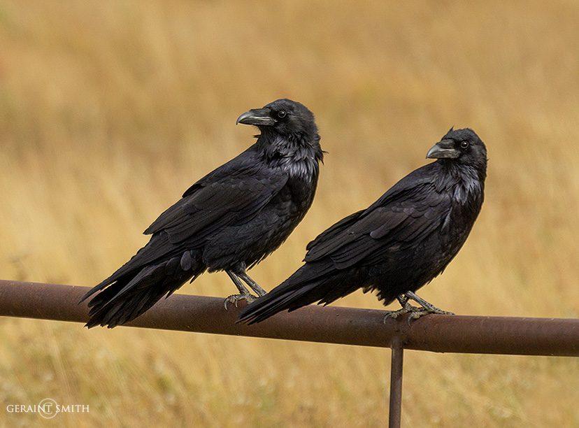 Ravens, Enchanted Circle, NM