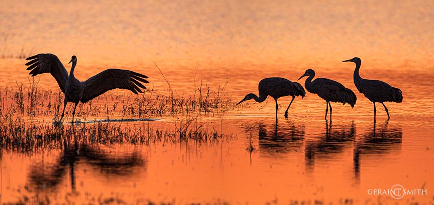 Sandhill Cranes, Bosque Del Apache, NWR