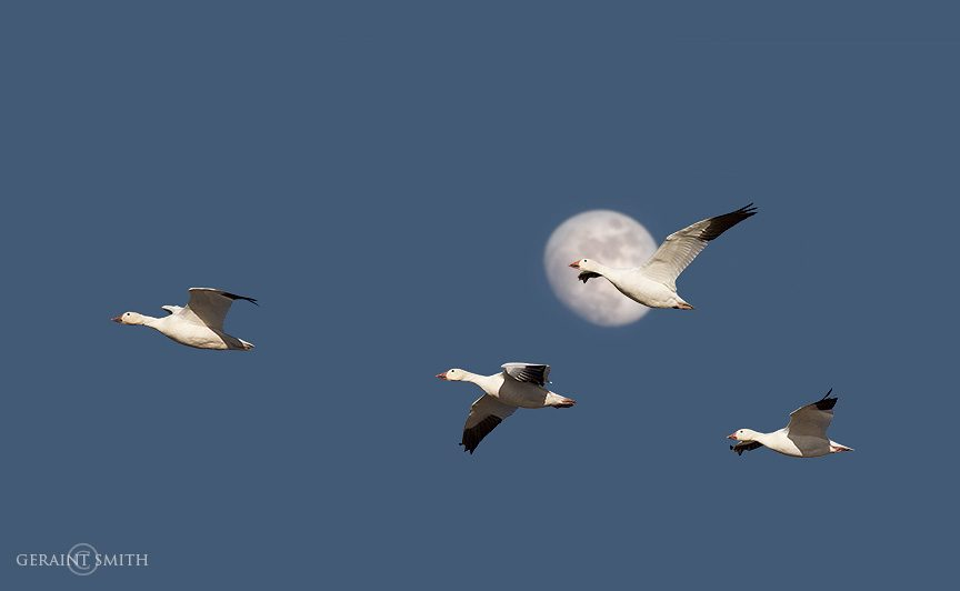 Snow Geese, moon, flashback 2009 Bosque Del Apache, NWR