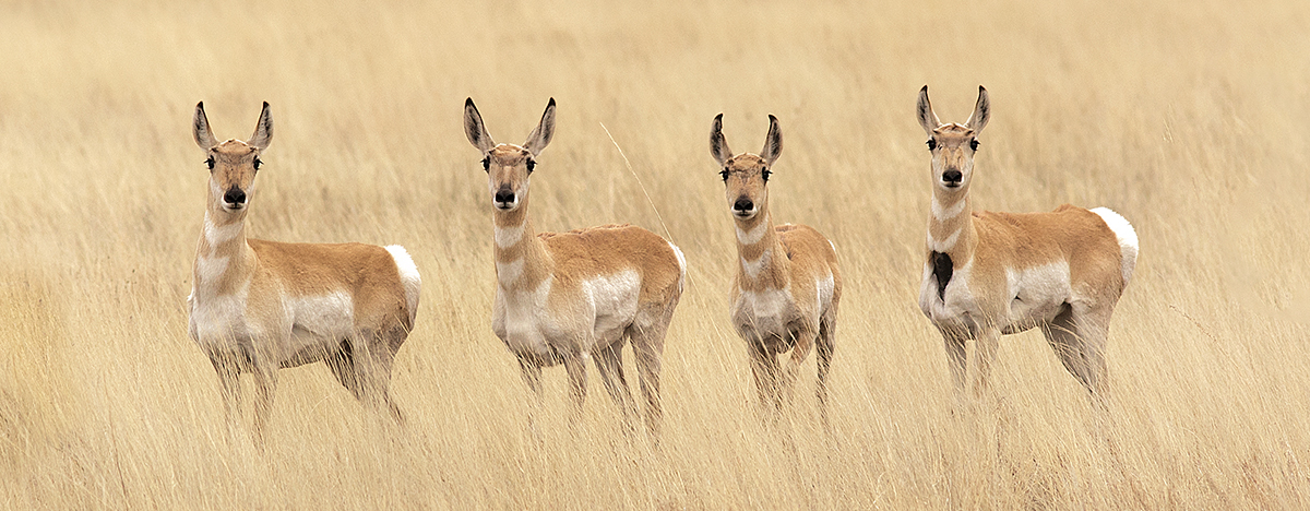 Pronghorn on the the plains of northeastern New Mexico