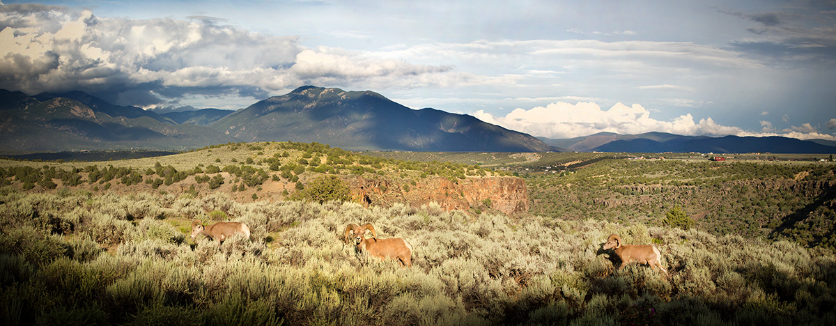 Bighorn sheep on the Rio Grande Gorge rim