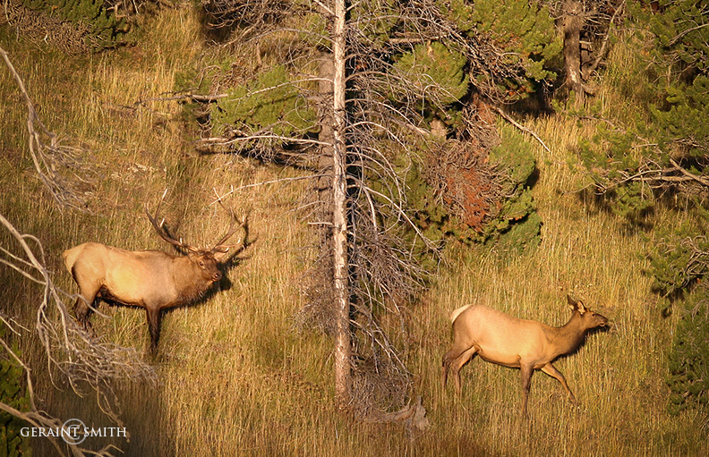 Elk, Sunlight, Yellowstone, Wyoming