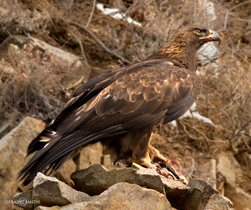 Golden Eagle, breakfast, on Bobcat Pass, NM.