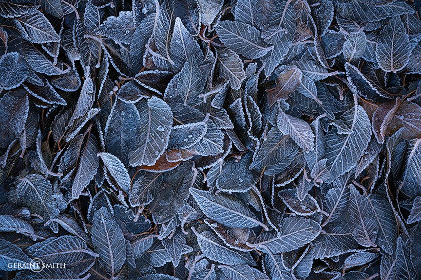 leaves_frosty_morning_sc_a7r_5798-9199910
