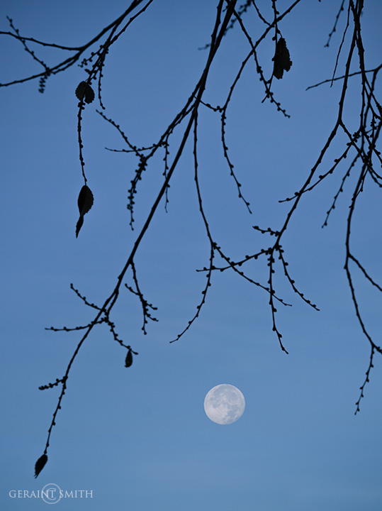 Morning Moon, Under The Elm Tree.