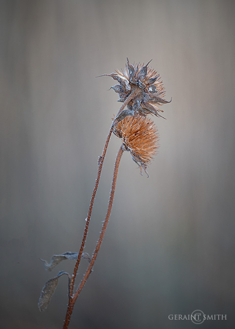 Sunflower Seed Pods, Late Fall, NM