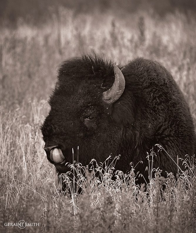 Bison, Yellowstone National Park, 2005