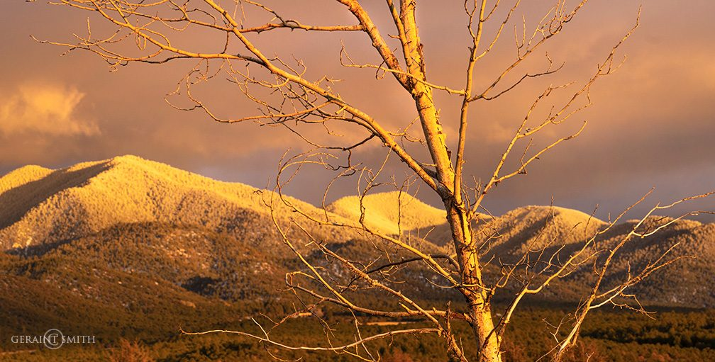Cottonwood at sunset in the Sangre de Cristo Mountains, NM.