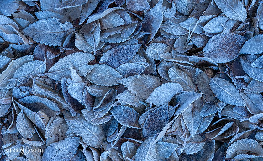 Blue Frosty Leaves Under The Elm Tree