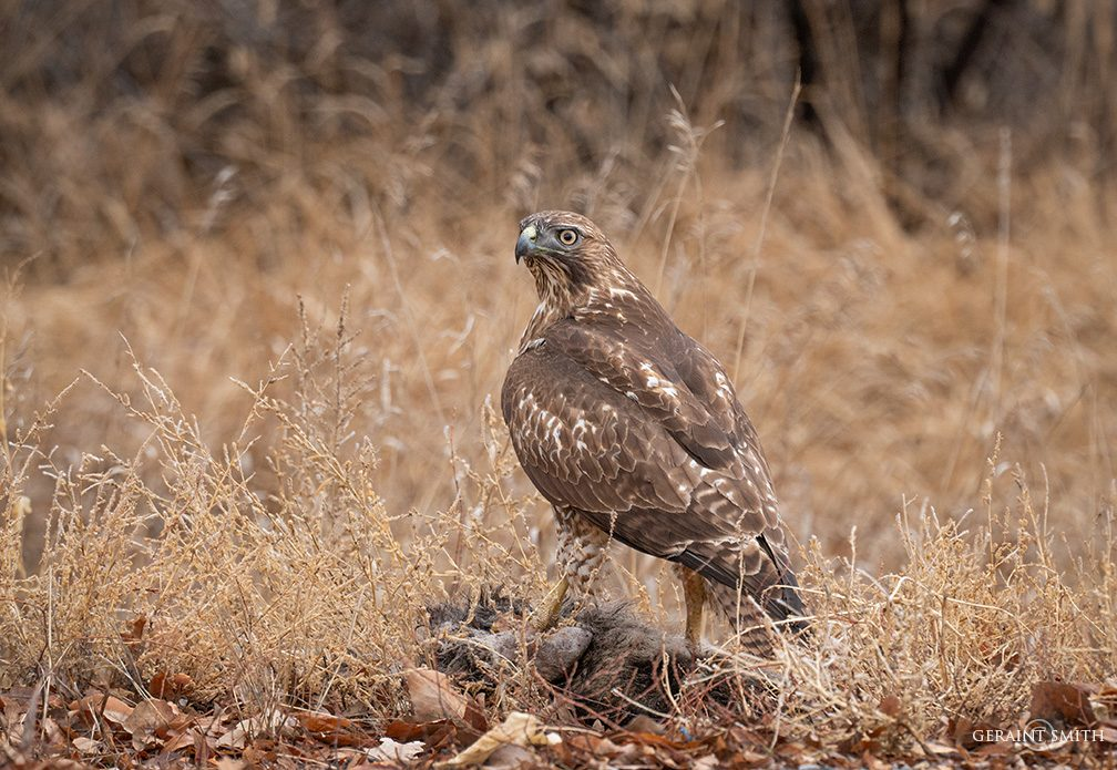 Roadside lunch, Red-tailed Hawk in the Ranchos valley.
