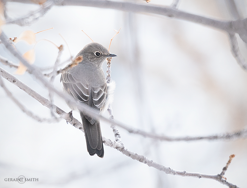 Townsend Solitaire In The Winter Tree