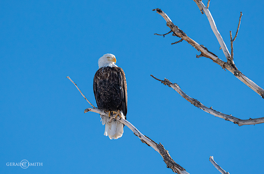 Bald Eagle, Monte Vista NWR, Colorado.