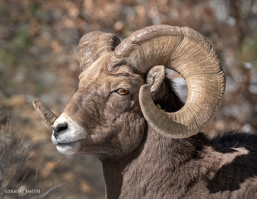 Red River Canyon, Bighorn Sheep Ram.