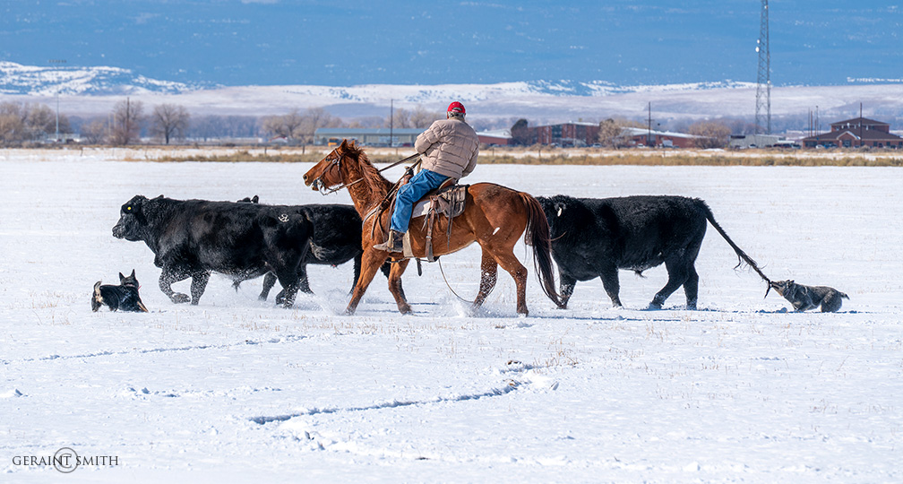 Cattle dogs, bulls, horses, on a round up.