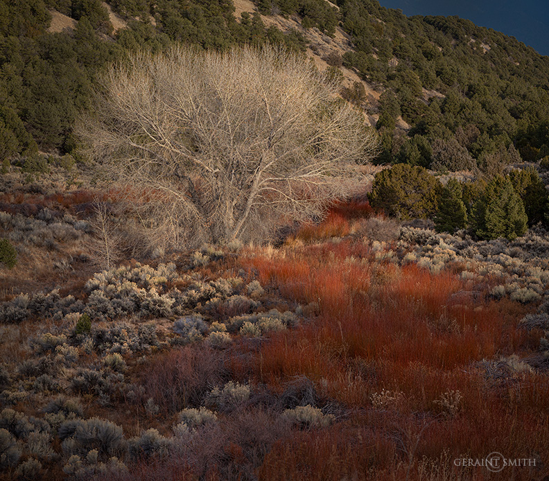 Red Willows, Cottonwood Tree, Arroyo Hondo