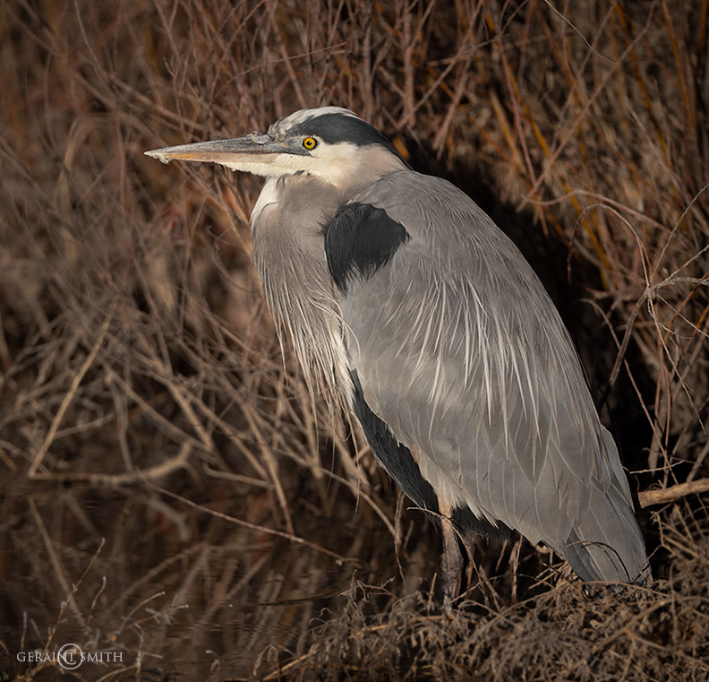 Up Close and Personal Great Blue Heron