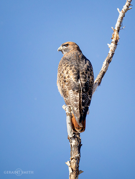 red_tailed_hawk_5361-8525573