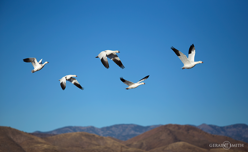 Soaring with Snow Geese in the Bosque Del Apache, NWR.