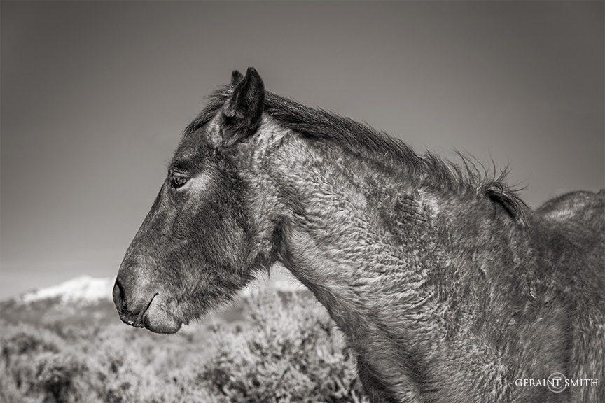 Wild Mustang, Wild Horse Mesa, Colorado.