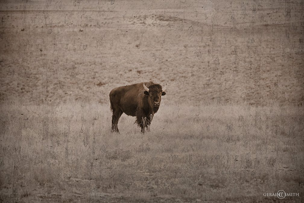 Bison, Philmont Ranch, New Mexico
