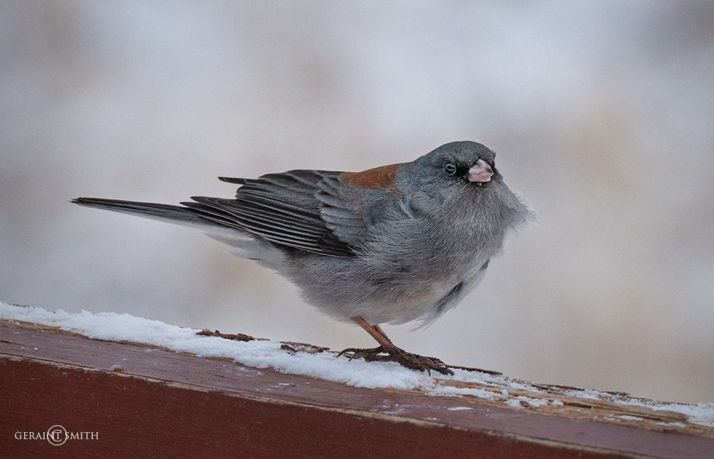 Dark-eyed Junco on the fence