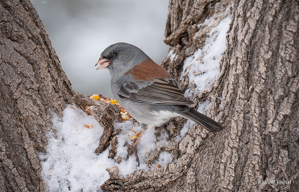Dark-Eyed Juncos, in the garden