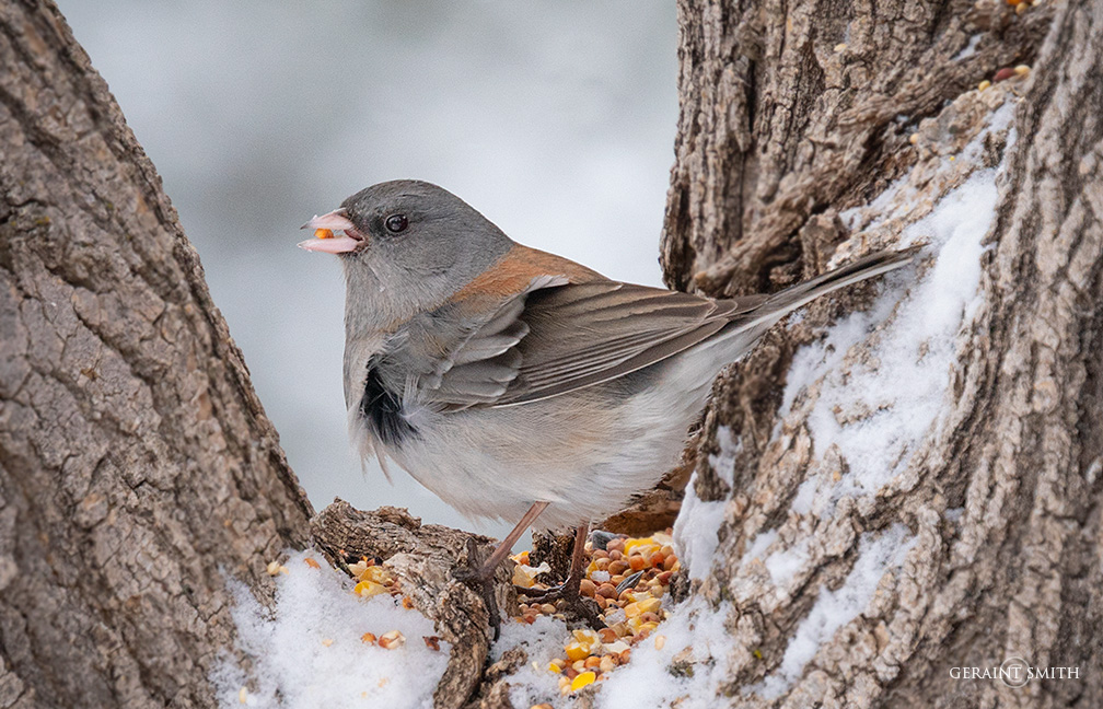 Dark-Eyed Juncos, in the garden and the snow today.