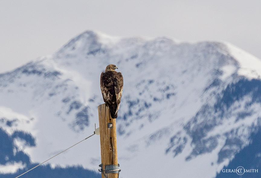 Golden Eagle, Pole Sitting, Vallecito Mountain