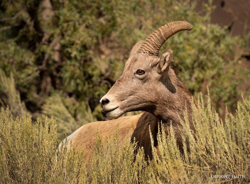 Bighorn Sheep Ram, Orilla Verde, NM