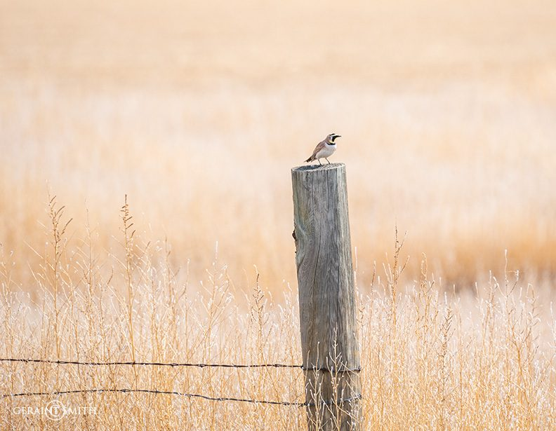 horned_lark_capulin_colorado_a7r_2515-3475528