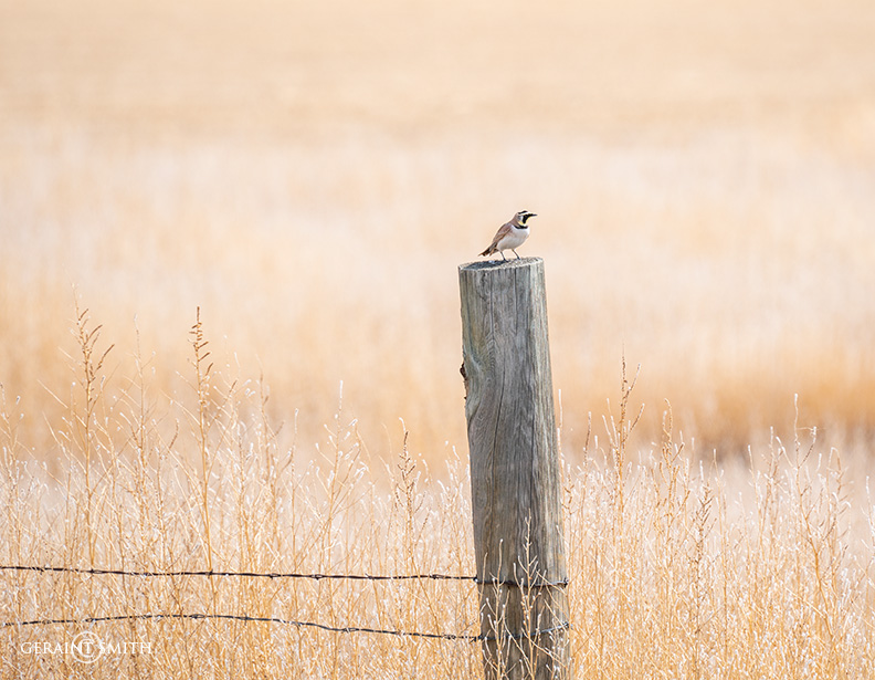 Horned Lark, Capulin, Colorado.