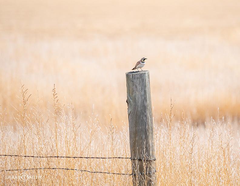 Horned Lark, Capulin, Colorado.