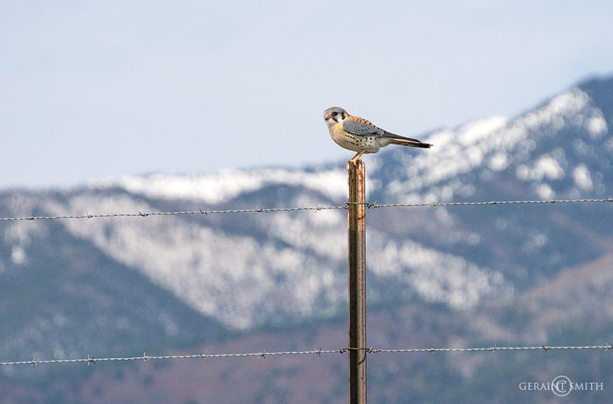 American Kestrel, Arroyo Hondo, New Mexico.
