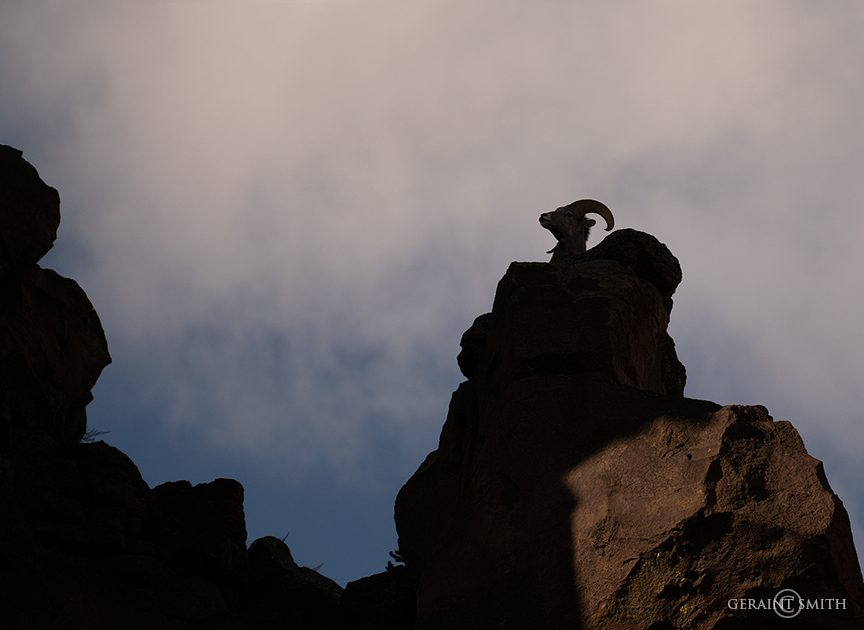 Bighorn sheep ram on a rock panel in the Rio Grande Del Norte National Monument.