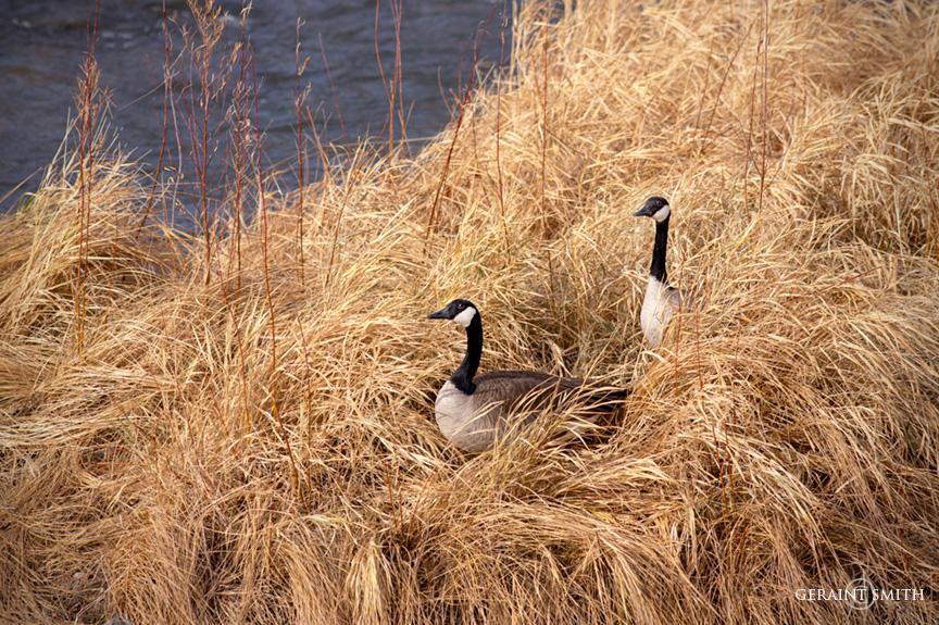 Canada Geese, Rio Grande, Pilar, NM