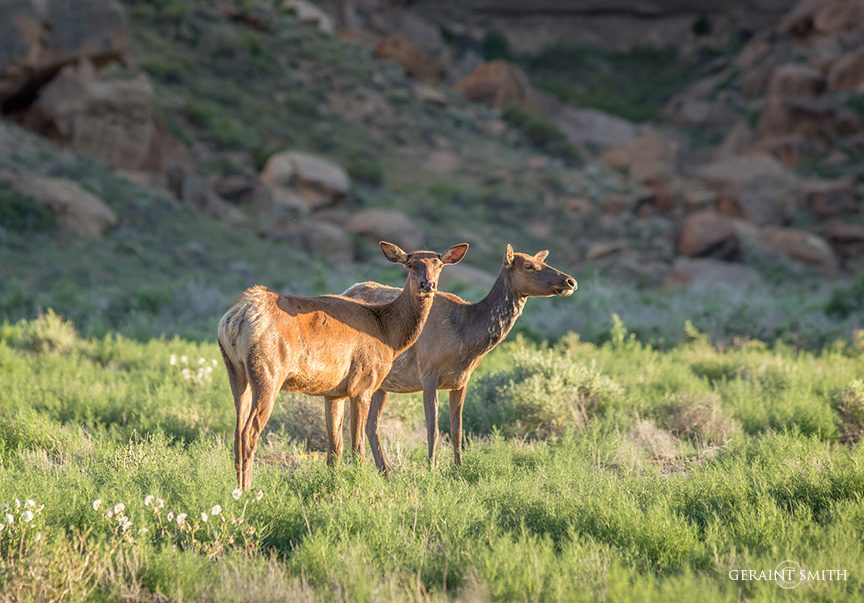 Elk, Chaco Culture, National Historical Park, NM.