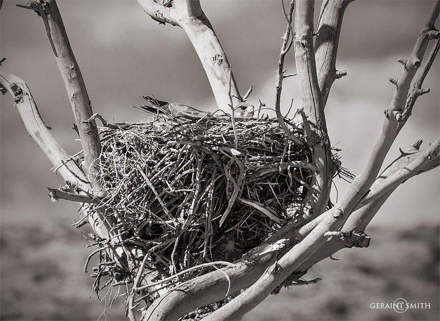 Nesting, Swainson's Hawk, San Luis Valley