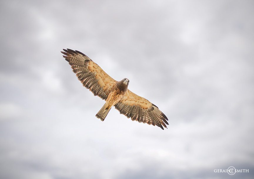 Swainson's Hawk in flight, Colorado.